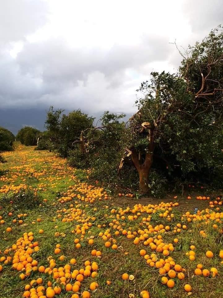 Yüzlerce Dönüm Narenciye Ağacı Etkilendi Meyveler Yerlere Saçıldı