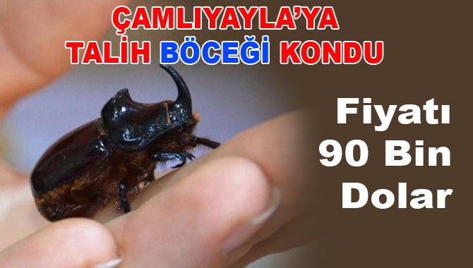 Çamlıyayla'da  Gergedan Böceği Bulundu