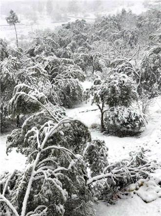 Mersin'de 20 Yıl Sonra Yağan Kar 400 Bin Zeytin Ağacına Zarar Verdi