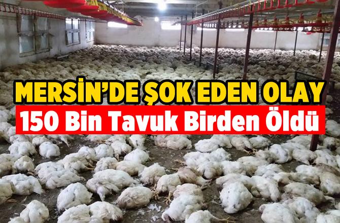 Mersin'de 150 Bin Tavuk Telef Oldu