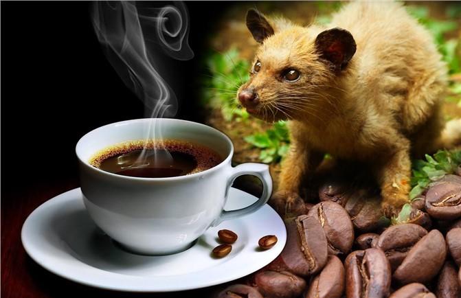Hayvan Dışkısından Elde Edilen Dünyanın En Pahalı Kahvesi Kopi Luwak
