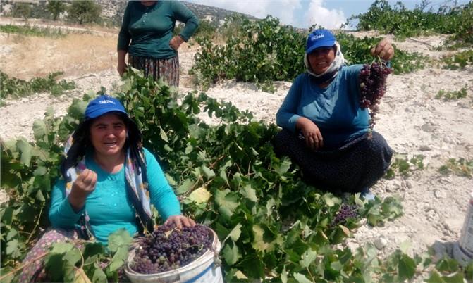 Gülnar'da Kişniş Üzümü Hasadı Yapılıyor