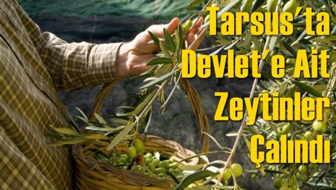Tarsus'ta Devlet'e Ait Zeytinler Çalındı