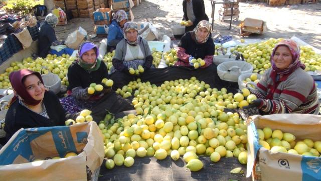 Yatağa' Alınan Limon Üreticisine Daha Fazla Kazandırıyor
