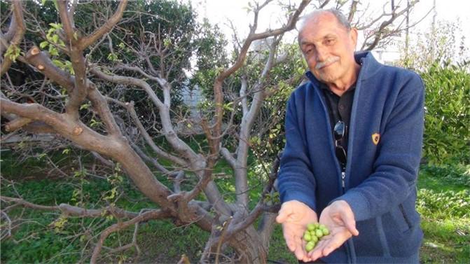 Silifke'de Erik Ağacı Kış Ortasında Meyve Verdi