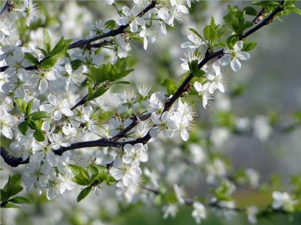 Akdeniz Bölgesinde, Erik Ağaçları Çiçek Açtı