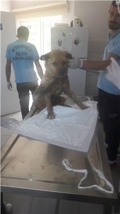Yağmur Kanalına Düşen Yaralı Köpek Kurtarıldı