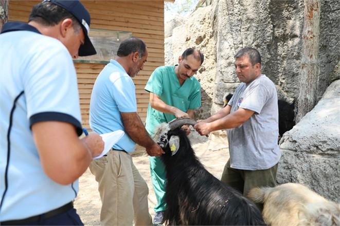 Mersin'de Kayıp Kurbanlık Keçileri Zabıta Bularak Sahibine Teslim Etti