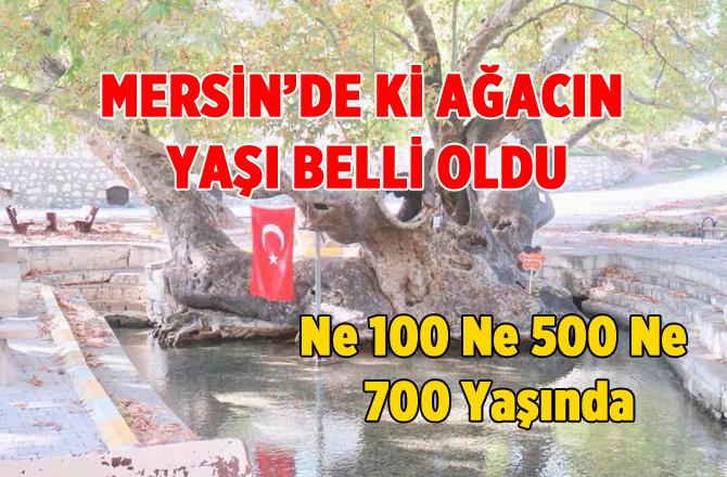 Mersin'deki Çınar Ağacın Yaşı Belli