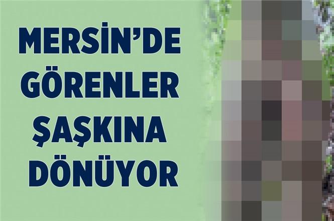 Mersin'de Görenleri Şaşkına Çeviren Ağaç