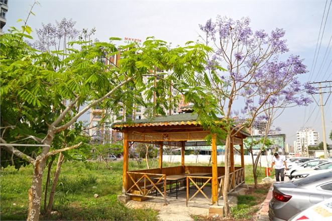 Mersin Mezitli'de 35 Farklı Koruluğa Dikilen Jakaranda Ağaçları Sonbaharda Mor Çiçek Açtı