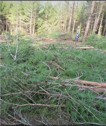 Mersin Çamlıyayla'da Çam Ağacı Katliamı Devam Ediyor