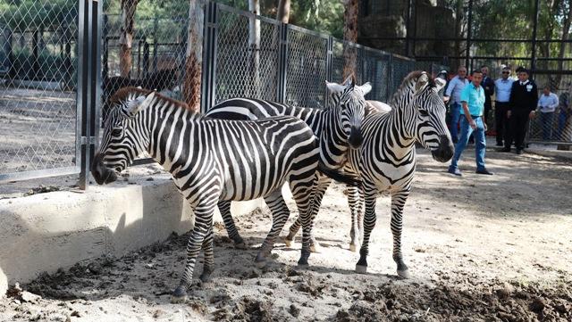 Tarsus Hayvan Parkı'nın Yeni Gözdeleri; Zebralar