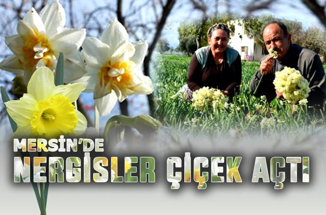 Mersin Silifke'de Aralık Ayında Nergisler Çiçek Açtı