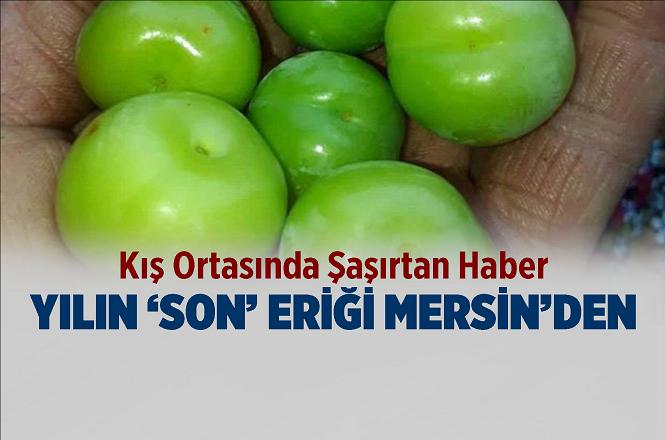 Mersin'in Silifke İlçesinde Aralık Ayı Ortasında Meyve Veren Erik Ağacı Şaşırttı