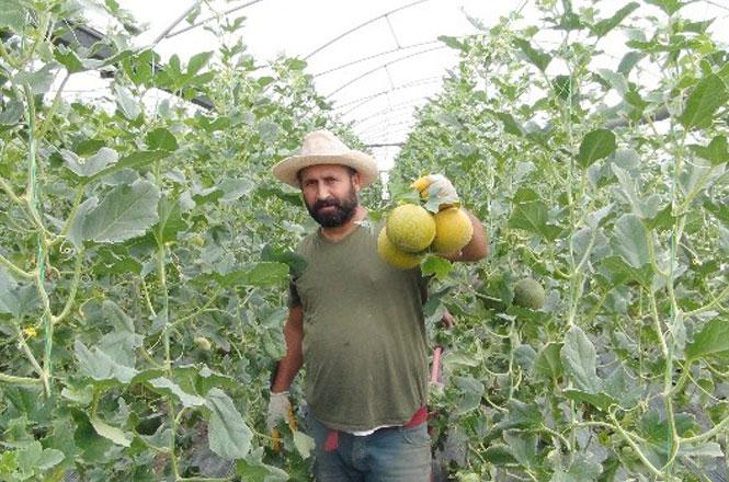 Türkiye'nin İlk Kavun Hasadı Mersin'de Başladı