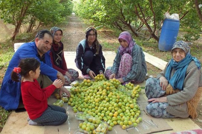 Türkiye'nin İlk Kayısı Hasadı Mersin Silifke'den