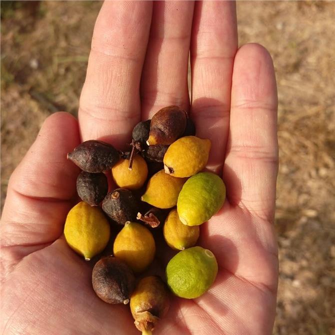 Mersin İl Tarım ve Orman Müdürlüğünden, Yoğun Küçük Meyve Dökümü Açıklaması