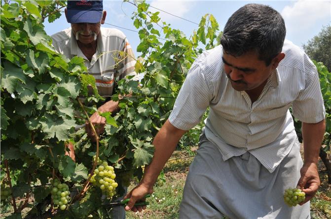 Türkiyede İlk Üzüm Hasadı Mersin'in Tarsus İlçesindeki 110 Bin Dönüm Alandaki Üzüm Bağlarında Başladı