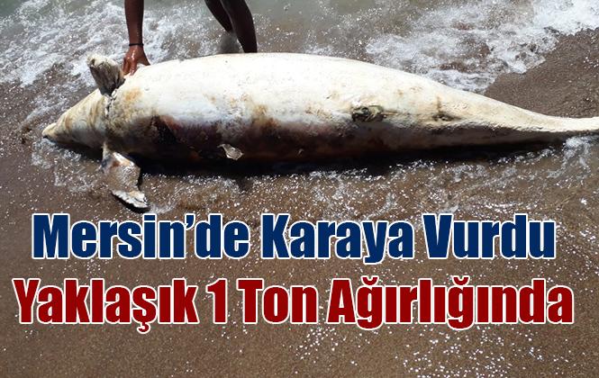 Mersin'de Yunus Balığı Sahile Vurdu