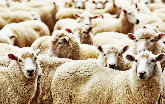 Tarsus'ta Kurbanlık Hayvan Fiyatları - Satış ve Kesim Yerleri