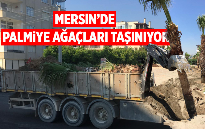 Büyükşehir 15 Palmiye Ağacını Kocahasanlı Plajı'na Taşıdı