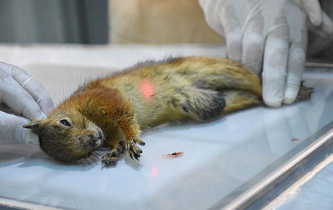 Mersin Tarsus'ta Yaralı Halde Bulunan Sincap, Götürüldüğü Tarsus Hayvan Parkında Tedaviye Alındı