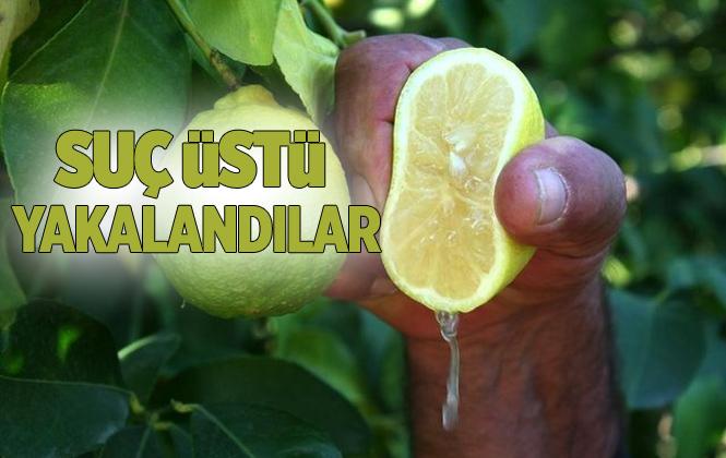 Mersin' Tarsus'ta Limon Hırsızlarına Suçüstü