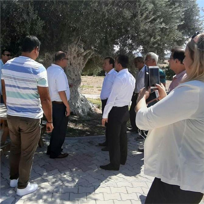 Mersin'de 1300 Yıllık Anıt Zeytin Ağacı Meyve Verdi