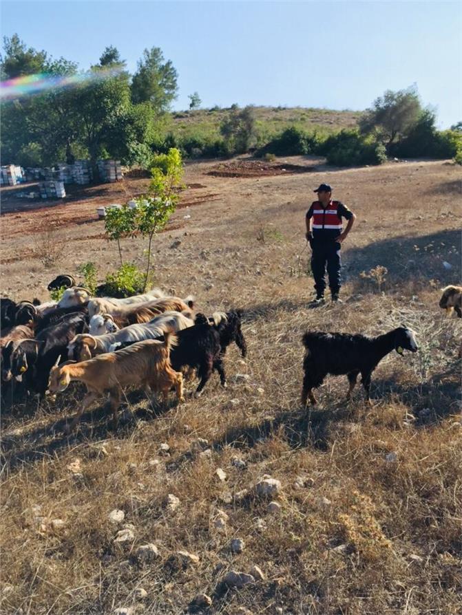 Arazide Koyunları Kaybolan Vatandaşın, Yardımına Jandarma Koştu