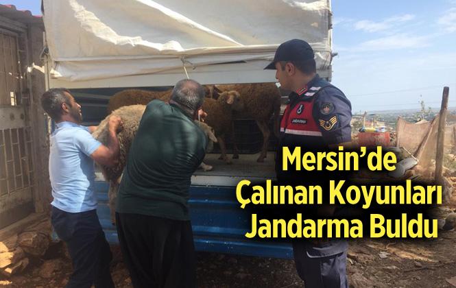 Mersin Silifke'de Küçükbaş Hayvan Hırsızlığı
