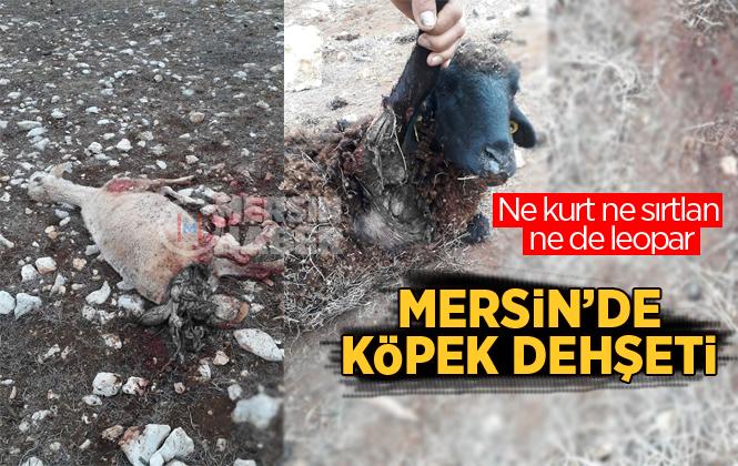 Mersin'de Aç Kalan Köpekler Koyun Sürüsüne Saldırdı