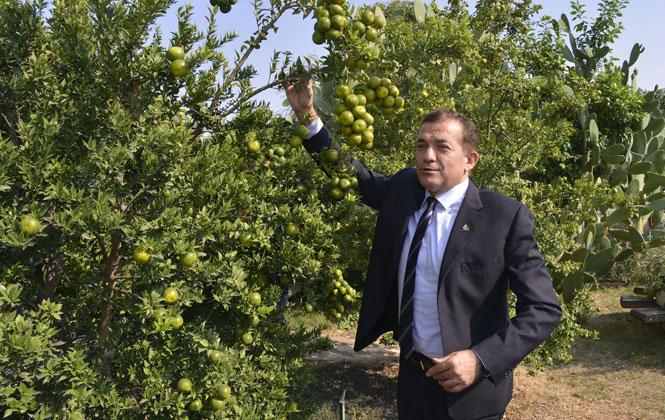 Mersin'de Belediye Bahçesinde Narenciye Yetişiyor