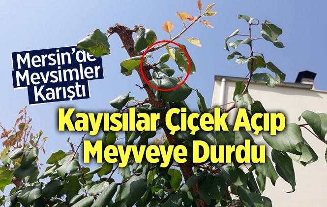Mersin'de Anamur'da Kayısı Ağacı Çiçek Açıp Meyve Verdi