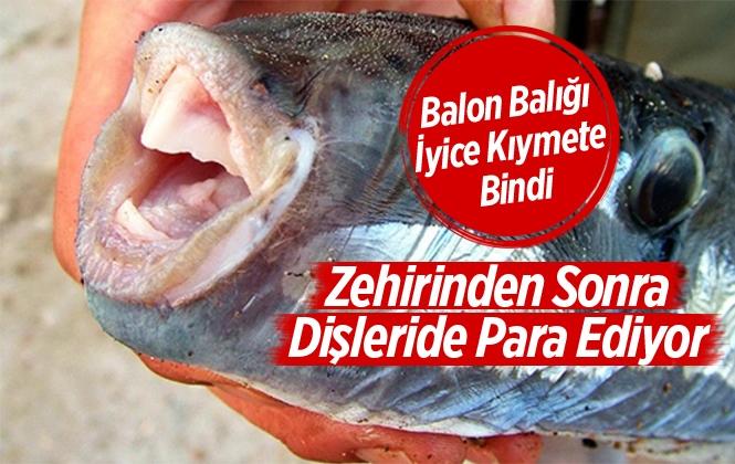 Balon Balığı Dişinden Protez Dişler Geliyor