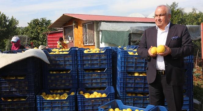 """Erdemli Başkan Tollu: """"Limon Tüketin, Hastalıklardan Korunun!"""""""