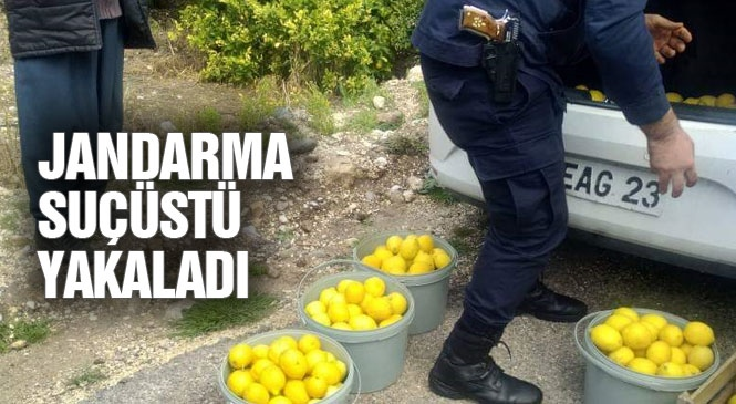 Fiyatı Artan Limon Hırsızların Gözdesi Oldu! Mersin Erdemli Sarıyer Mahallesinde Devriye Gezen Jandarma Limon Hırsızlığı Şüphesiyle 4 Kişiyi Gözaltına Aldı