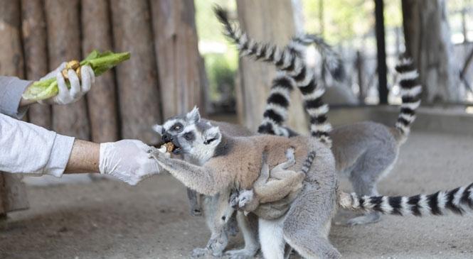 Tarsus Doğa Parkı'nın Sevimli Üyesi Lemur, Ender Görülen Bir Doğumla İki Yavru Dünyaya Getirdi