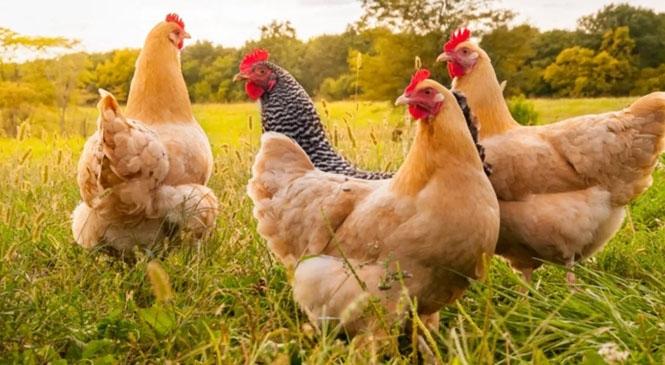Tavuk Eti Üretimi 191 Bin 629 Ton, Tavuk Yumurtası Üretimi 1,7 Milyar Adet Olarak Gerçekleşti