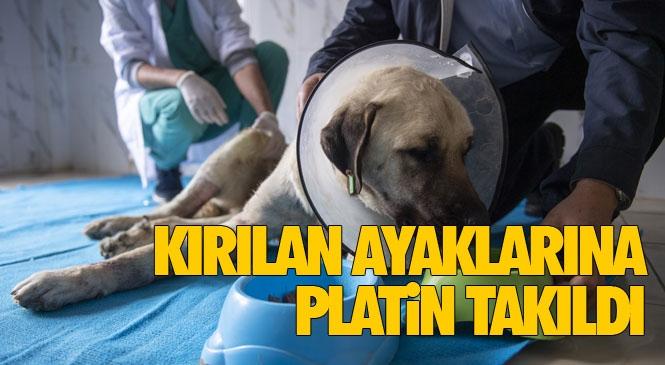 Mersin'de Trafik Kazasında Ayakları Kırılan Çoban Yıldızı Adının Verildiği Sokak Köpeğinin İki Ayağına da Platin Takıldı