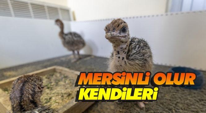 Doğum Yeri Mersin Tarsus! Tarsus Doğa Parkı'nda Gözlerini Dünyaya Açan 3 Deve Kuşu Yavrusu 7 Aylık Oldu