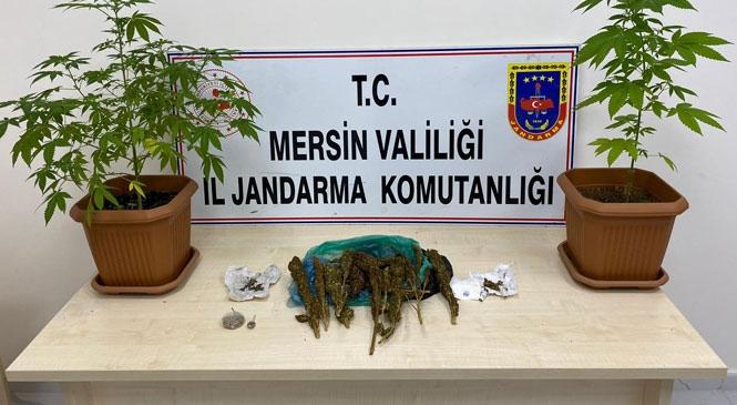 Mersin Erdemli Çeşmeli'de Jandarmanın Operasyon Yaptığı Evin Banyosunda Saksıya Ekilmiş Kenevir Bitkisi Ele Geçirildi