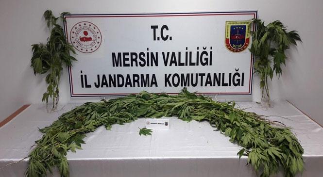 Mersin Tarsus'ta Jandarma Ekiplerince Tarlaya Ekilmiş 226 Kök Hint Keneviri Bitkisi Ele Geçirildi