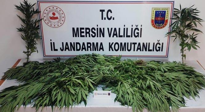 Mersin Tarsus'ta Yasadışı Kenevir Ekimi Yapan Şahıslar Yakalandı: Damda Ekili 31 Kök Kenevir Bitkisi Ele Geçirildi