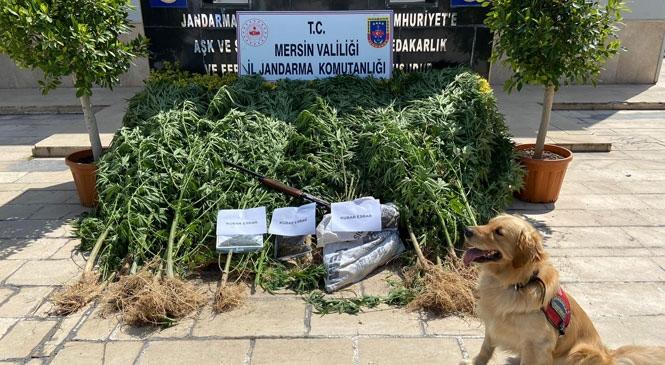 Mersin Erdmeli'de Limon Bahçesine Ektiği Kenevirden Esrar Elde Eden Şahısa Yönelik Jandarmadan Narkotik Köpekli Operasyon!