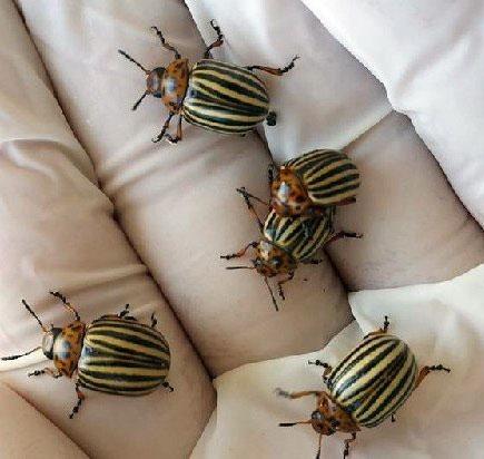 Mersin'de Patates Böceği Kabusu! Anamur ve Bozyazı'da Ortaya Çıkan Böcekler Üreticinin Korkulu Rüyası Oldu
