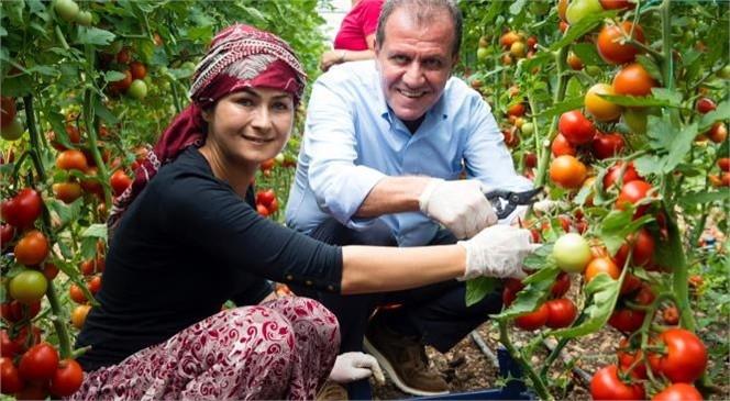 Seçer, Erdemli'de Kadın Üreticilerle Birlikte Domates Hasadı Yaptı