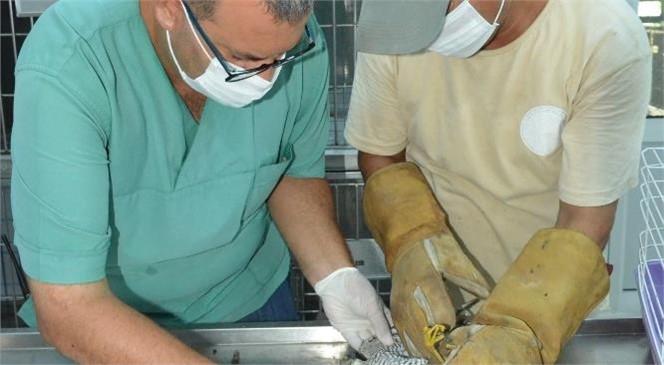 Tarsus Doğa Parkı'na Teslim Edilen Yaralı Şahin, Tedavisinin Ardından Yaşam Alanına Bırakılacak