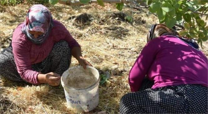 Mersin Silifke'de Antep Fıstığı Hasadı Başladı