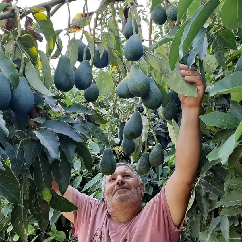 ''Avokado Mersin'de Yükselen Trend Oluyor''